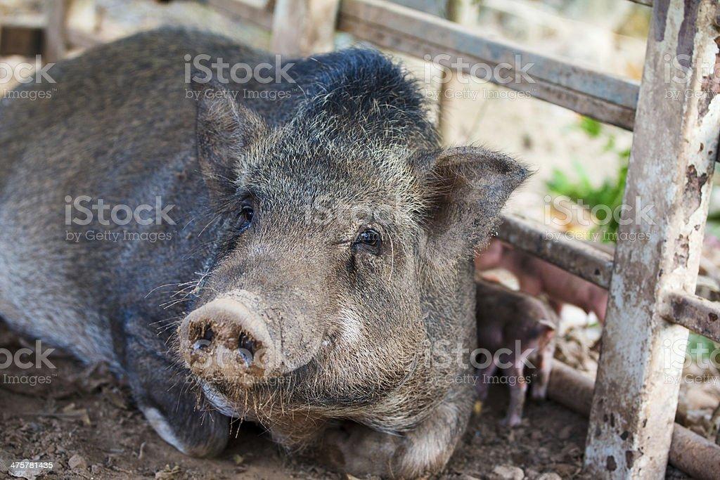 Pig,pet stock photo