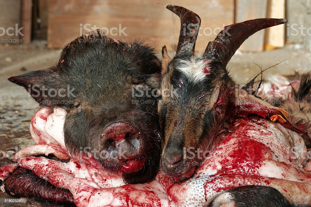 Pigs and goats slaughtered heads on the ground stock photo
