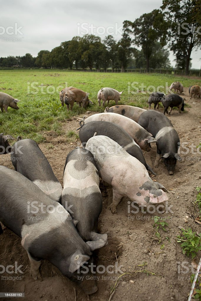 Pigs are looking for food. royalty-free stock photo
