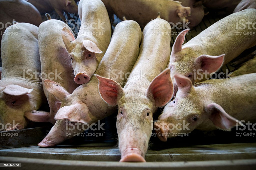 Pigs at a factory stock photo