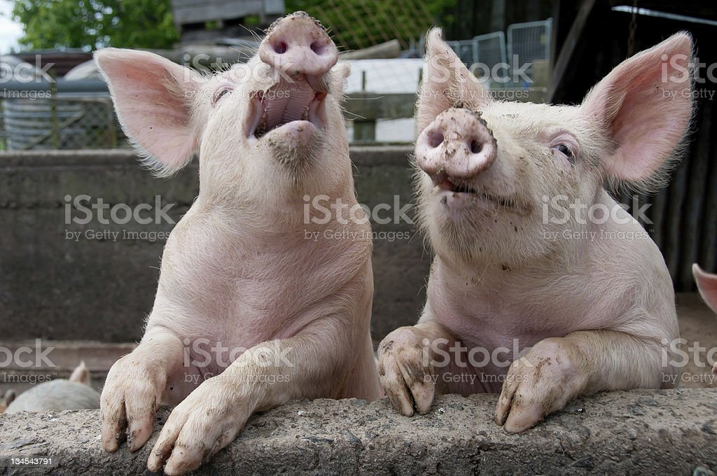 Pigs being funny stock photo