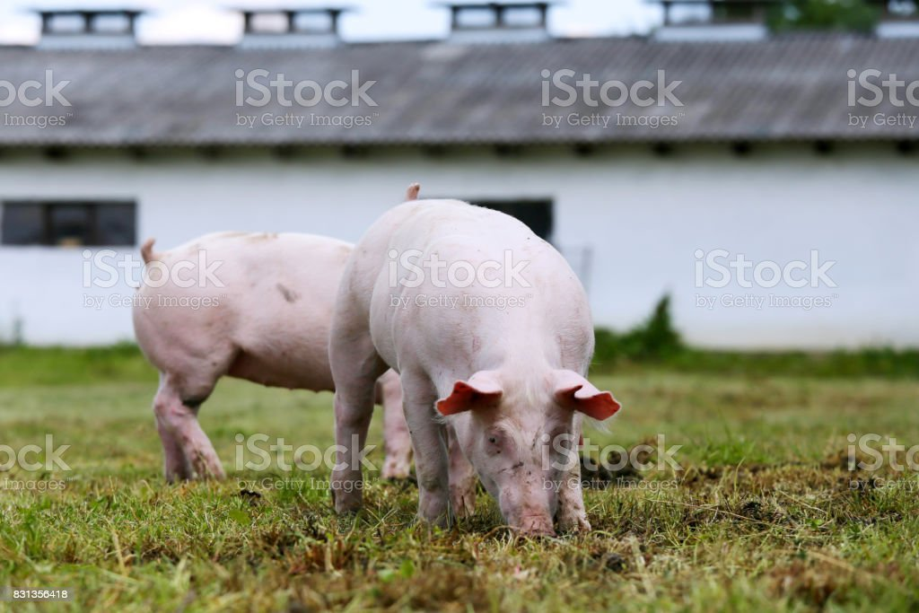 Pigs farming raising breeding in animal farm rural scene stock photo
