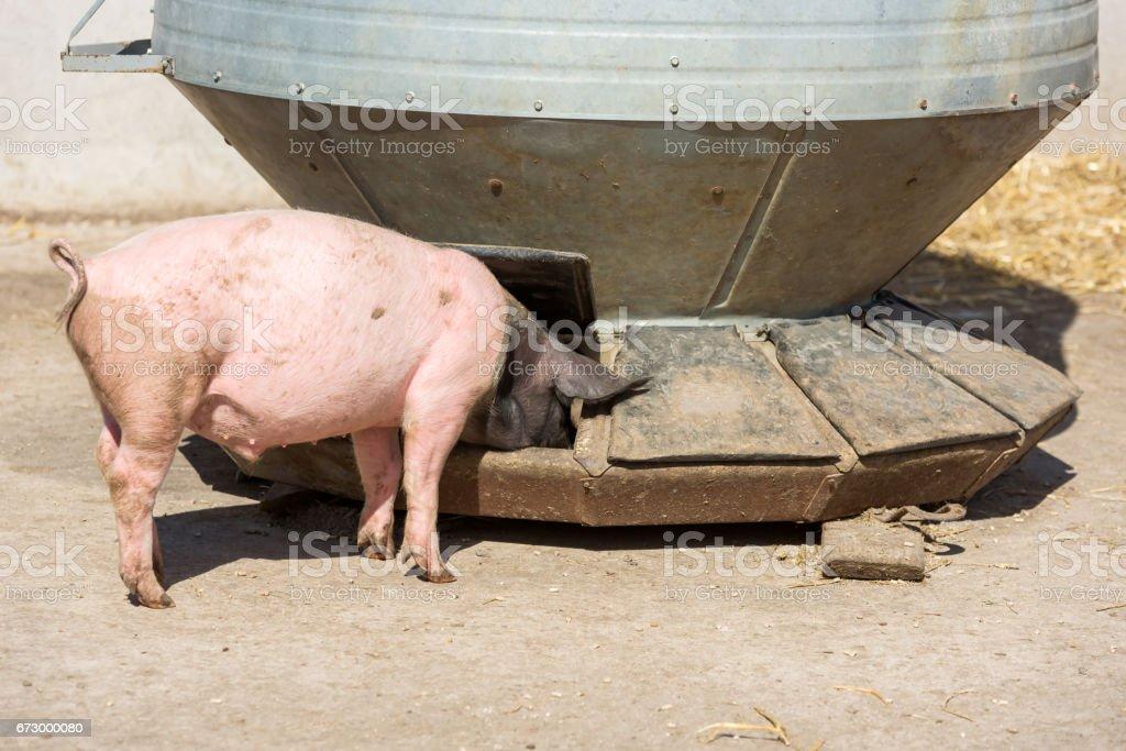 Pigs feeding at silo stock photo