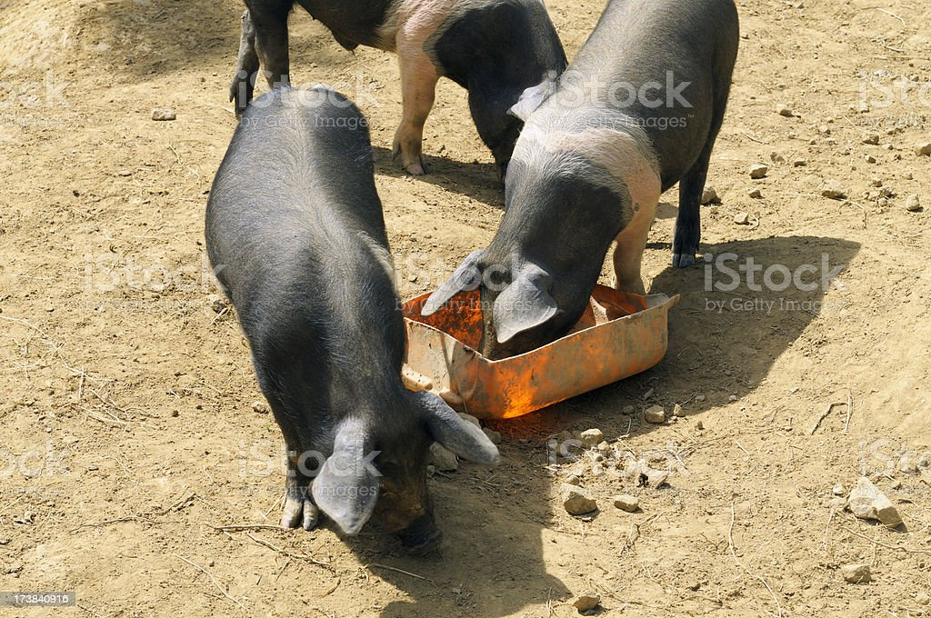 Pigs feeding stock photo
