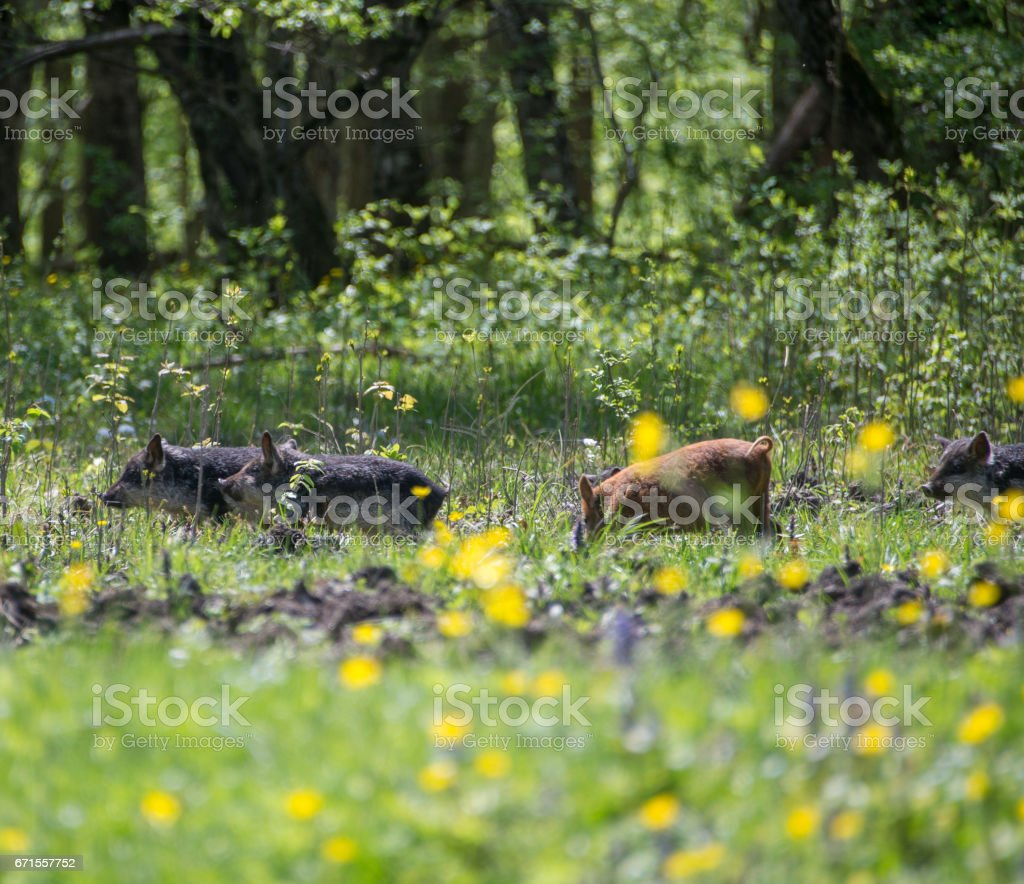 Pigs grazing in a meadow stock photo