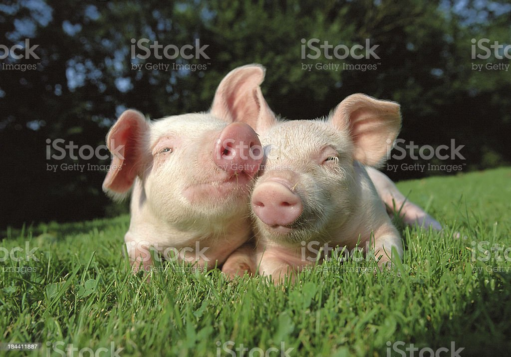 Pigs grazing on the grass field. stock photo