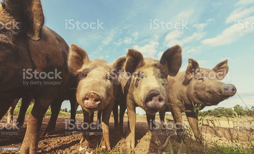 Pigs in a Row stock photo