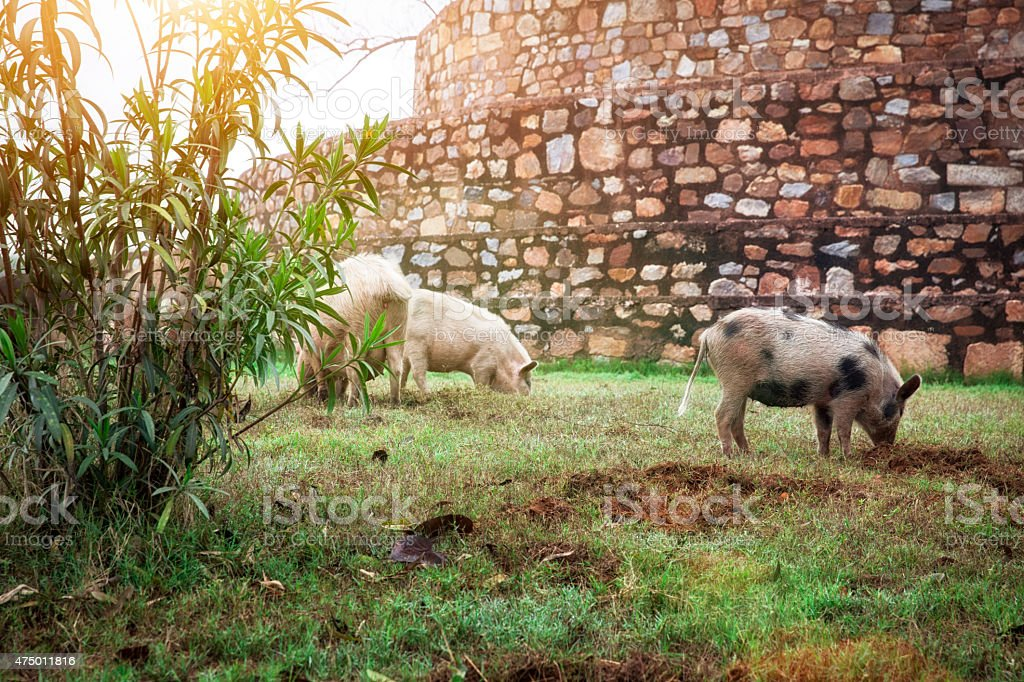 Pigs in India stock photo