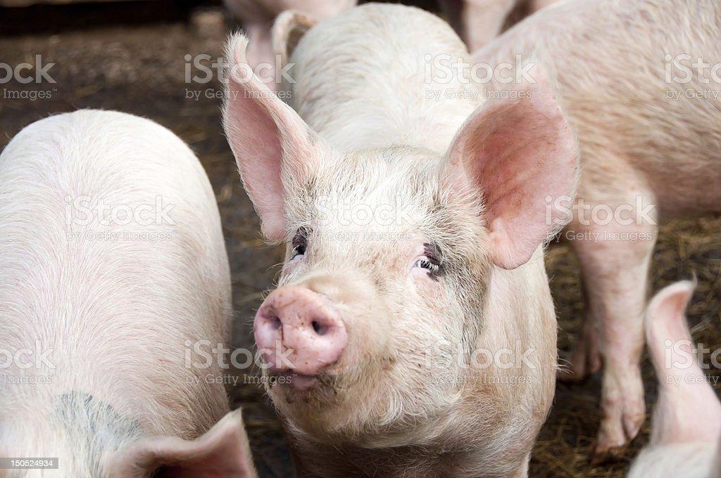 Cerdos en cerdos de estireno foto de stock libre de derechos
