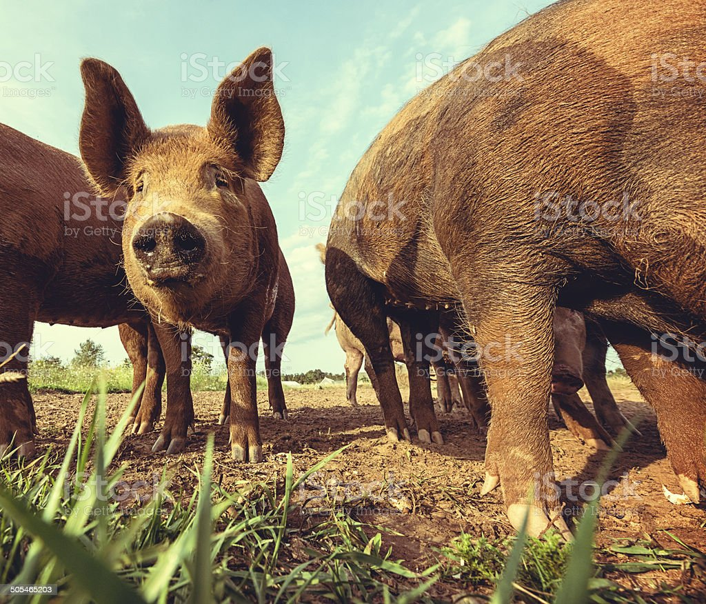 Pigs in the Meadow royalty-free stock photo