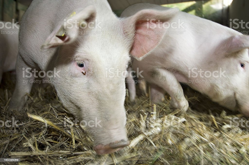 Pigs Inside Their Pigsty stock photo