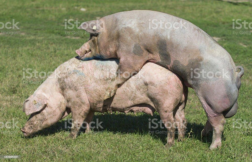 Pigs Mating stock photo 183996391 | iStock
