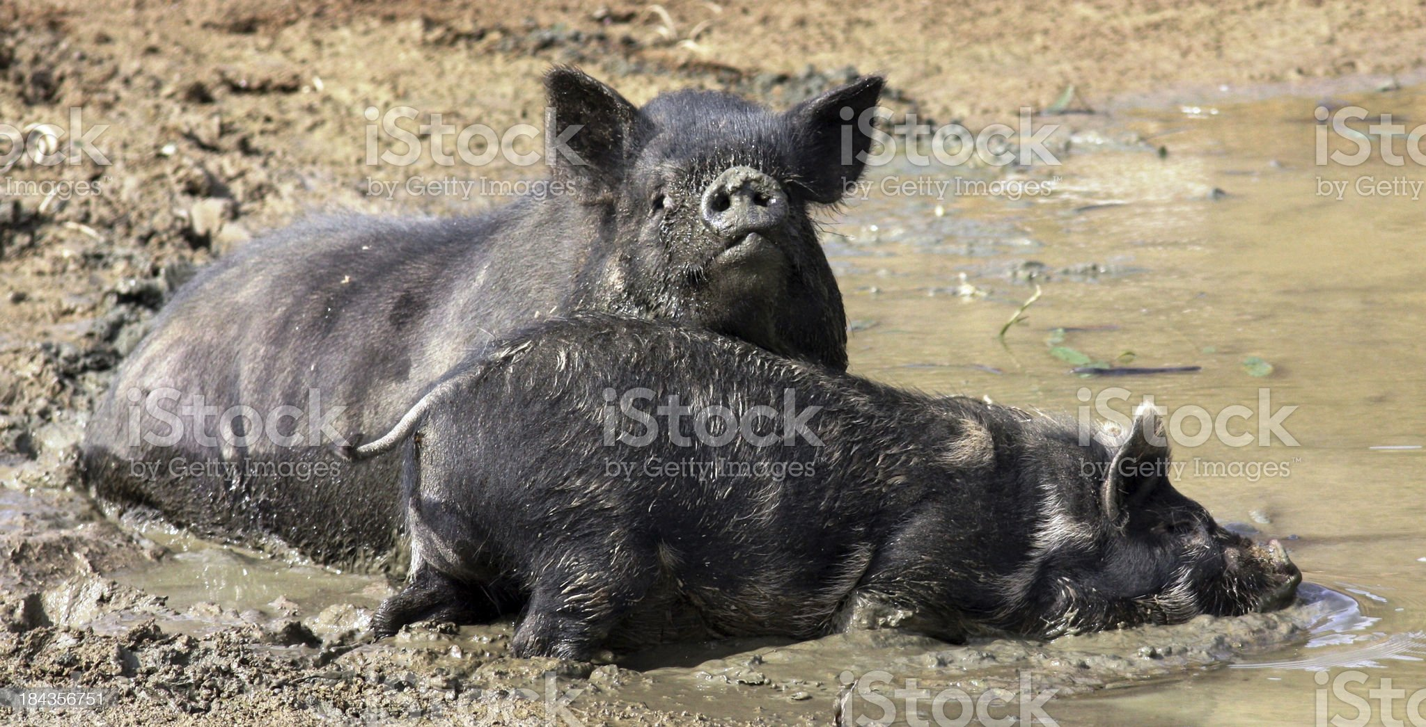 Pigs messing in the Mud royalty-free stock photo