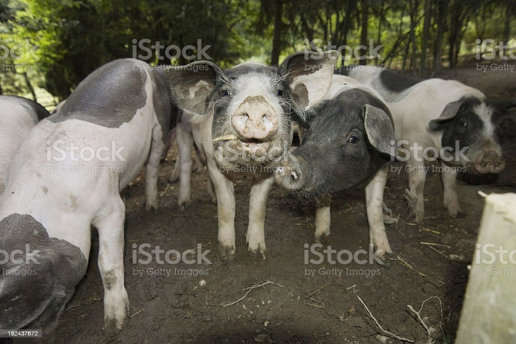 pigs on field royalty-free stock photo