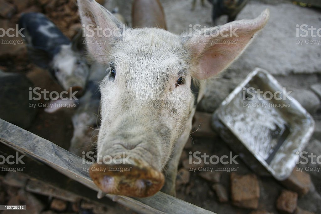 pigs on the farm royalty-free stock photo