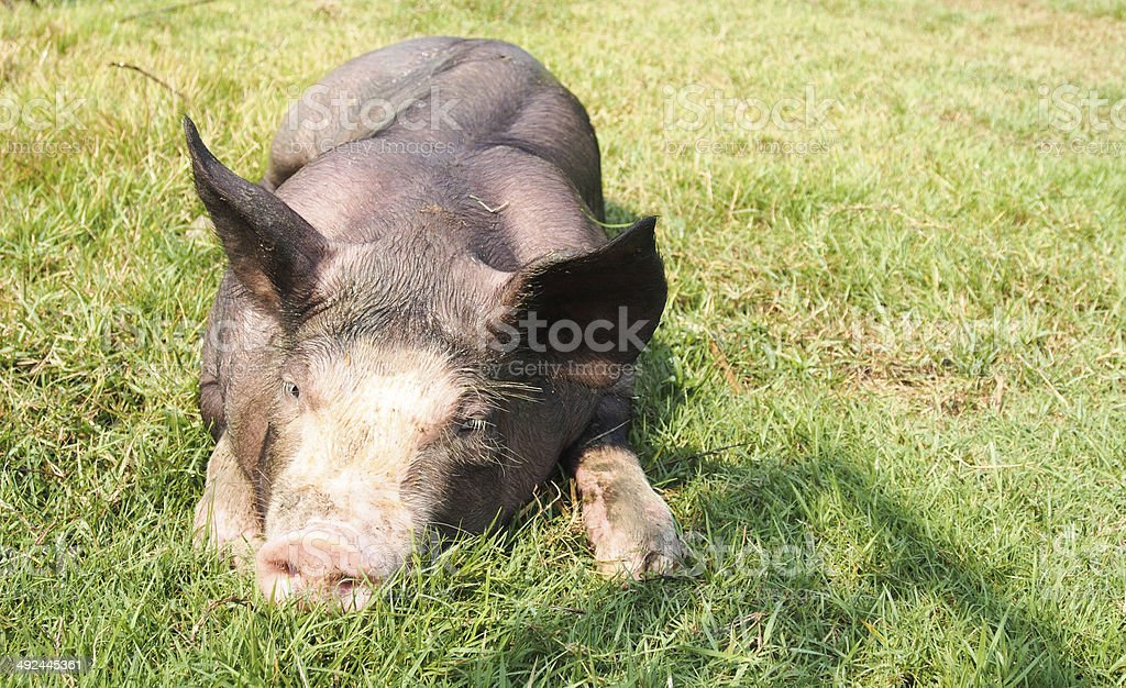pigs on the farm stock photo