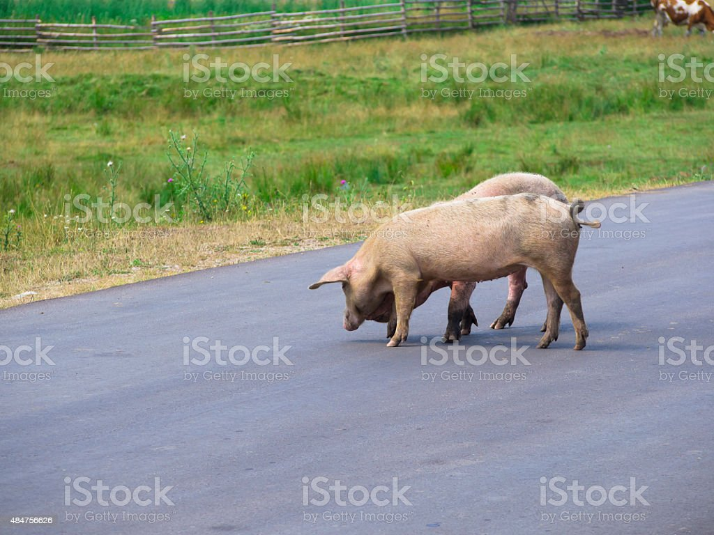 pigs  on the road stock photo