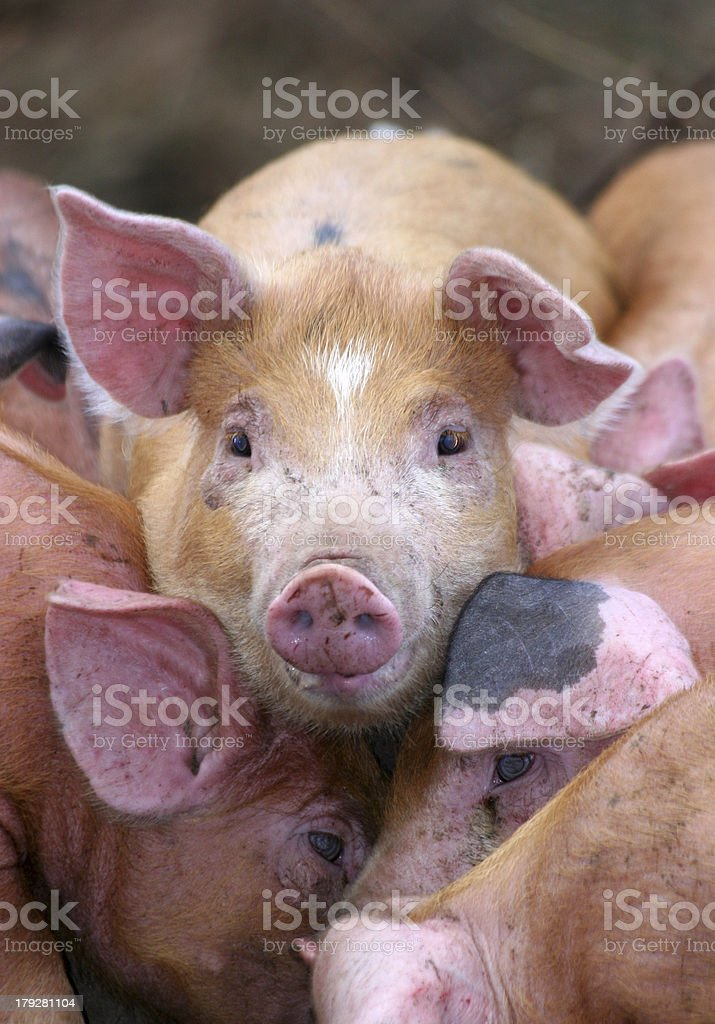 pigs on top royalty-free stock photo