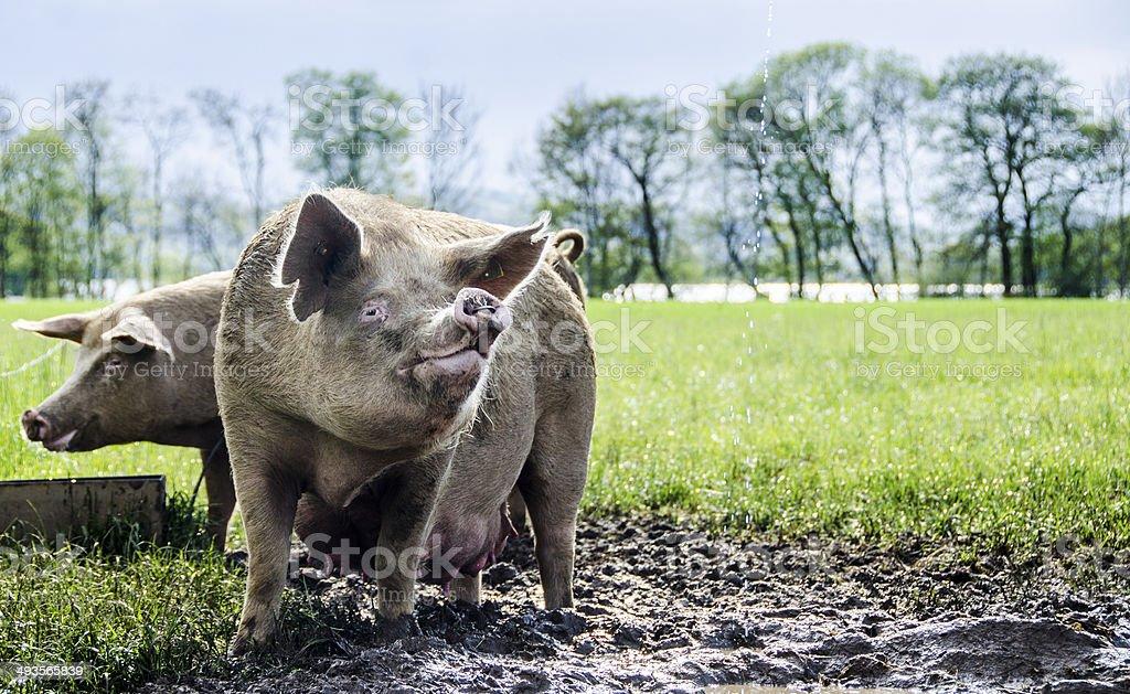 Pigs, organic stock photo