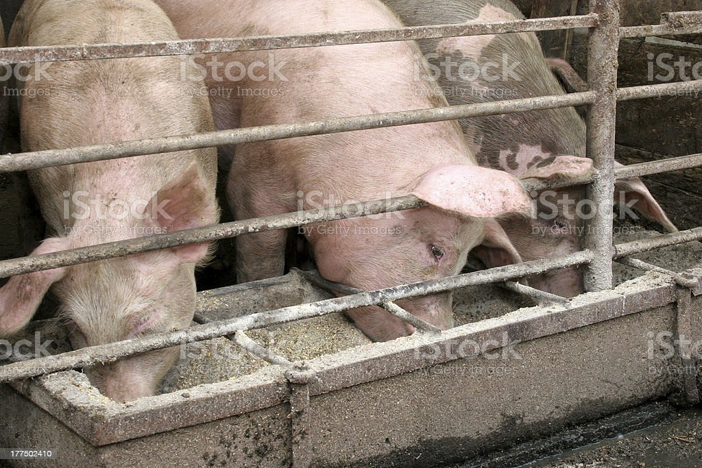 pigs royalty-free stock photo
