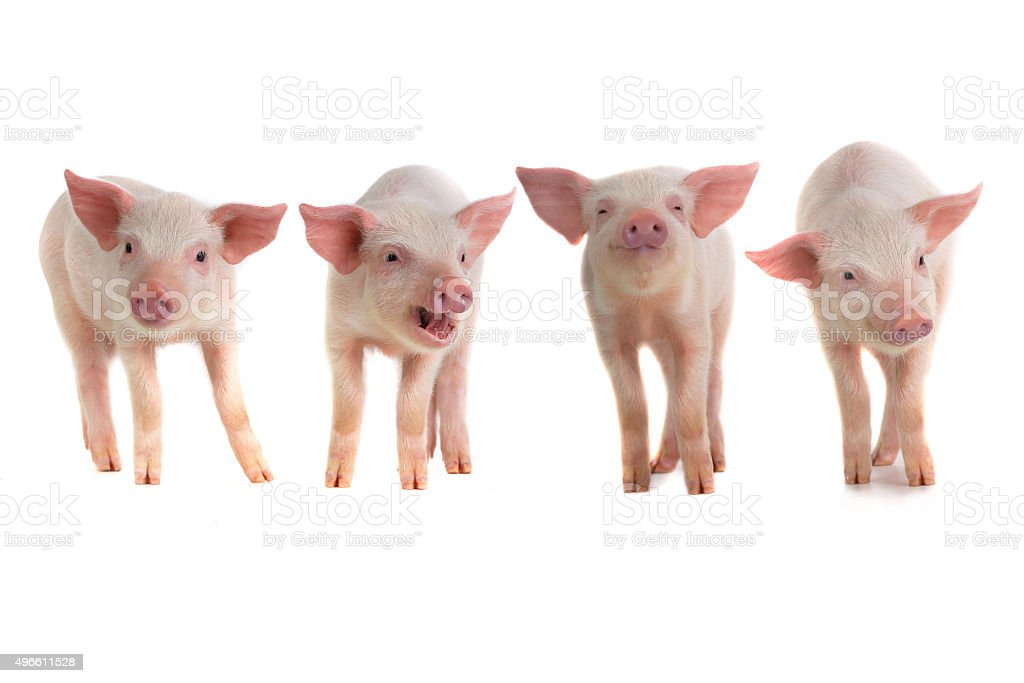 pigs stock photo