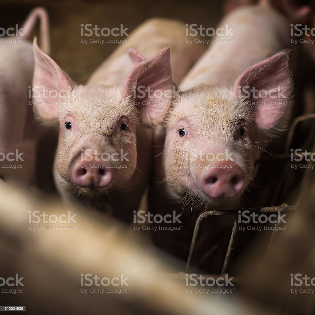 Pigs. stock photo