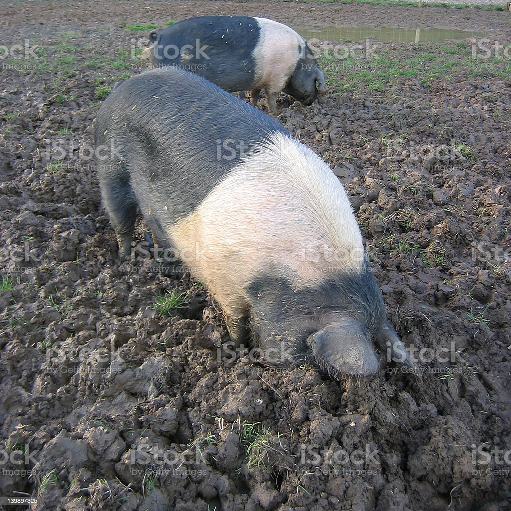 Pigs rooting royalty-free stock photo