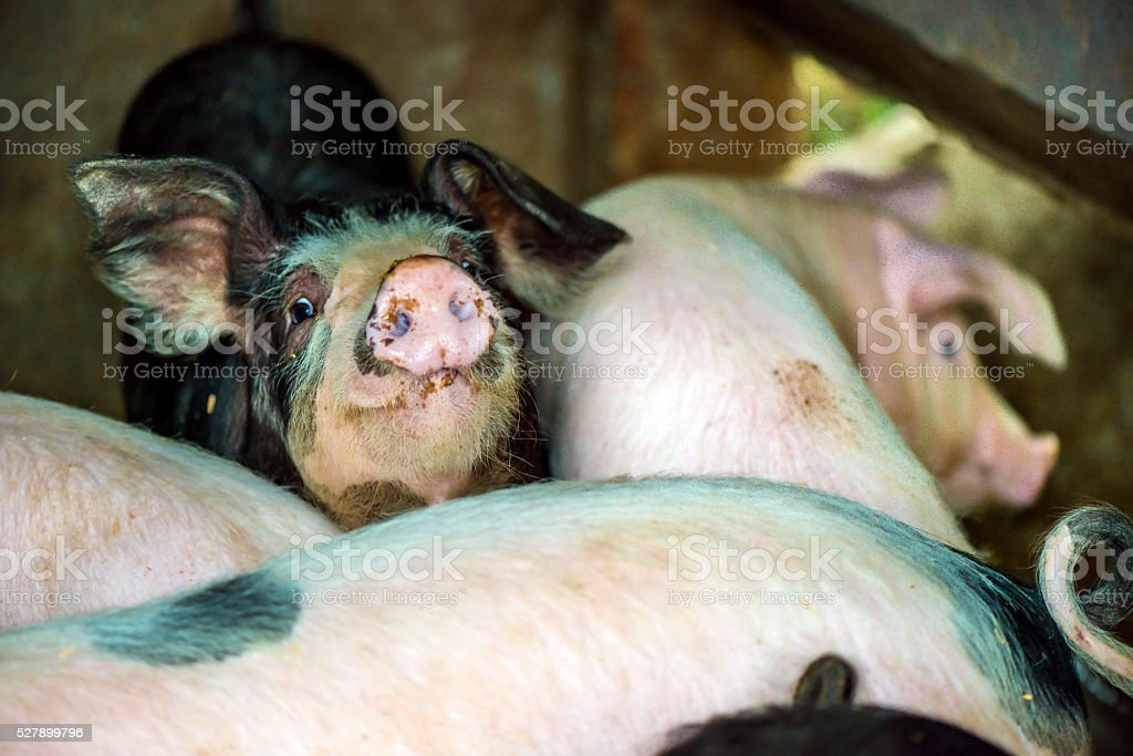 Pig's snout stock photo