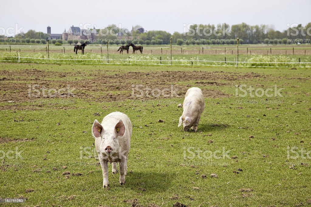 Pigs # 9 XXXL royalty-free stock photo