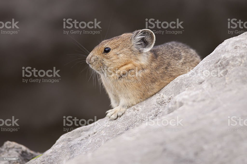Pika at Rest stock photo