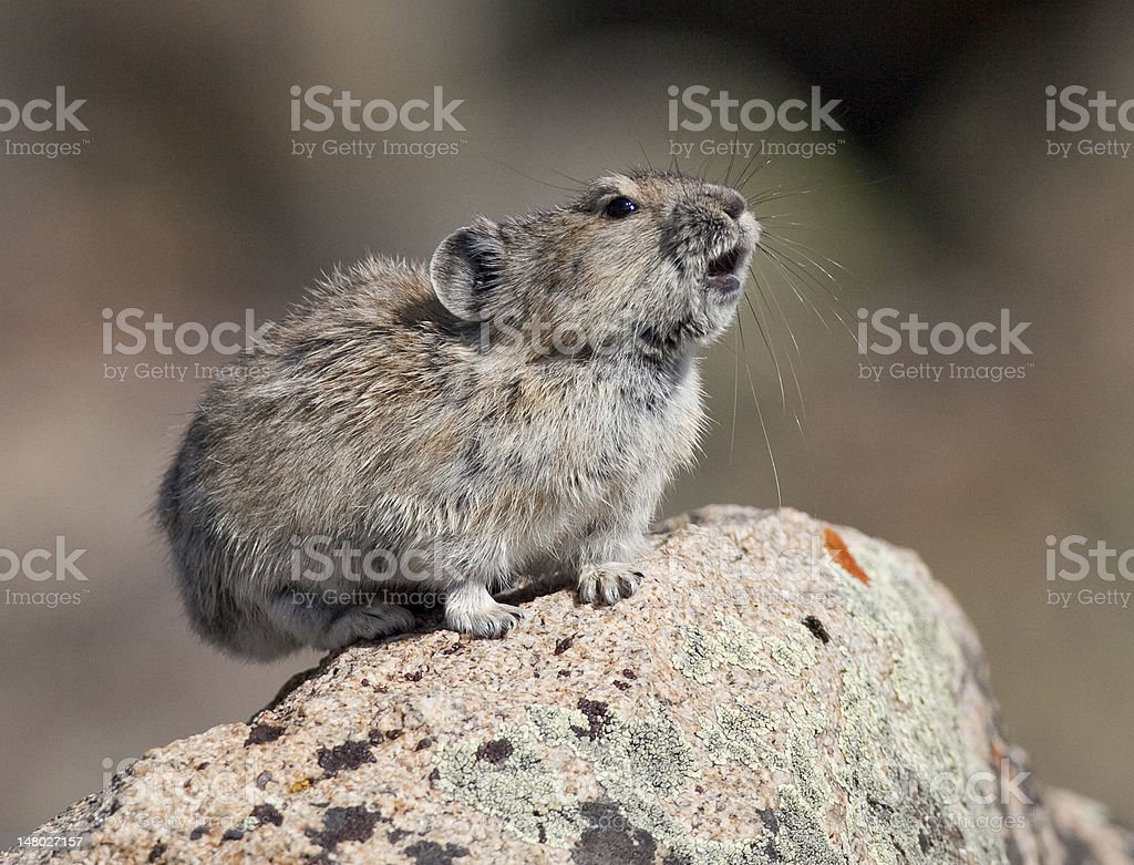 Pika calling on rock stock photo
