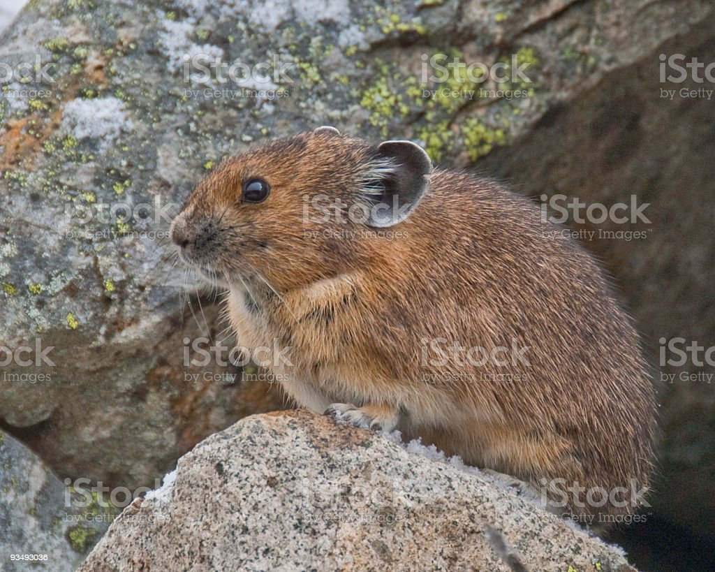 Pika Sitting on a Rock stock photo
