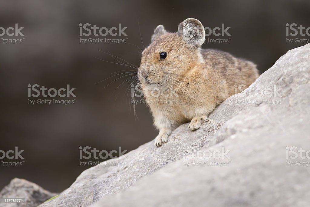 Pika Diagonal stock photo