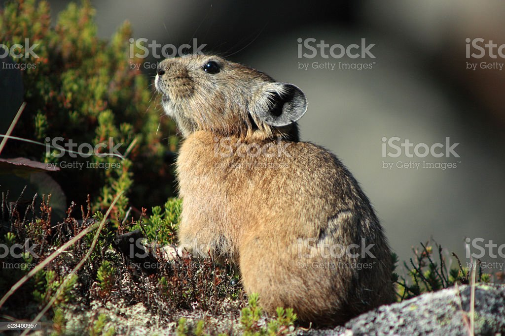 Pika in rocky habitat stock photo
