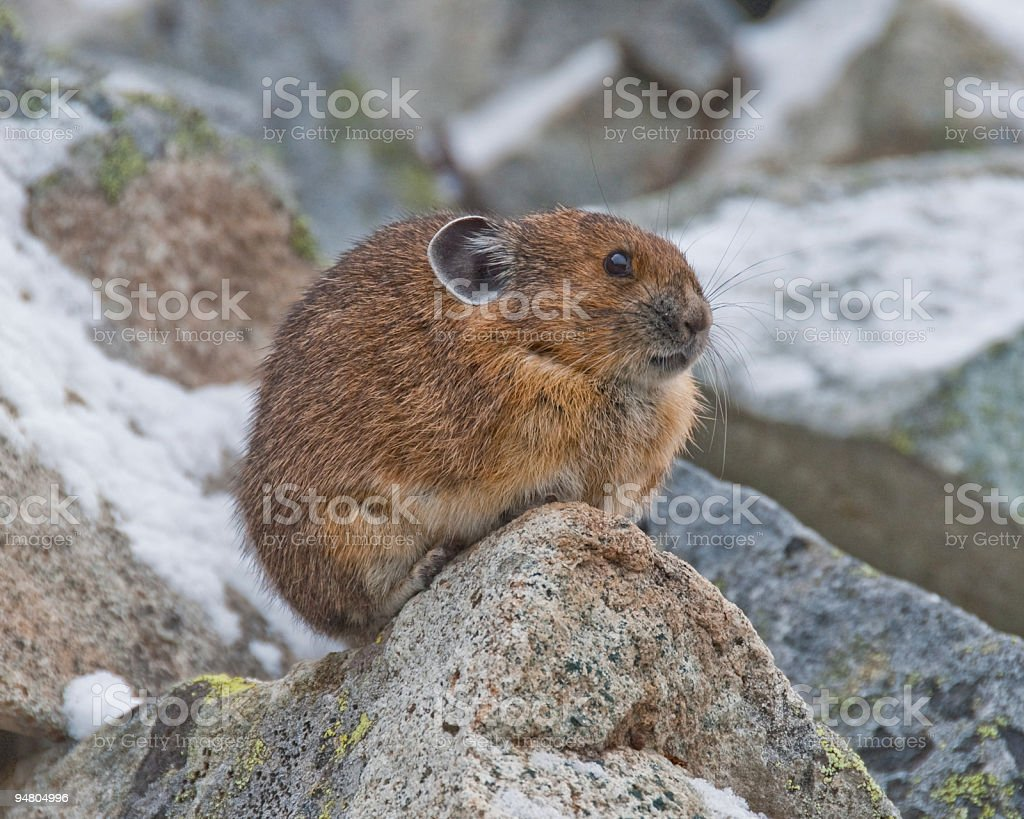Pika in Snow Covered Rocks stock photo