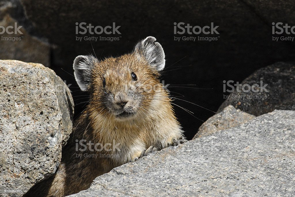 Pika Looking out from its Burrow stock photo