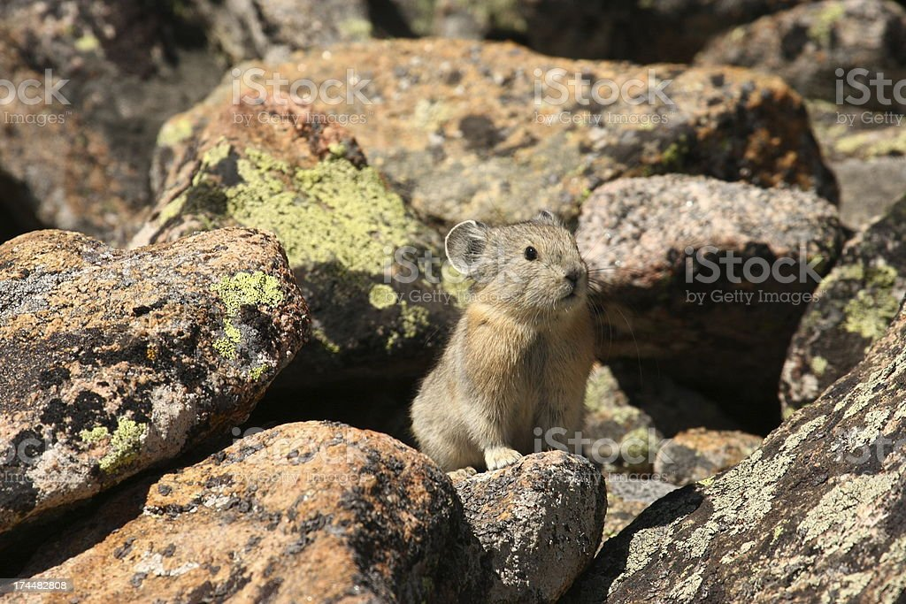 Pika of the Rocky Mountains stock photo
