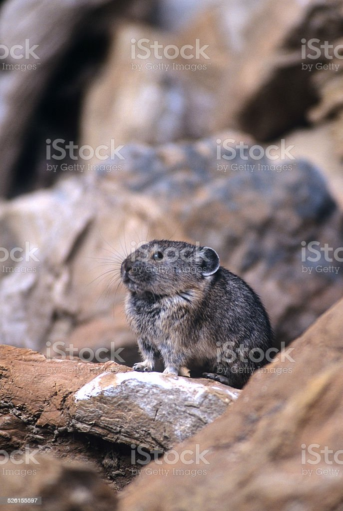 Pika on a Pile of Rocks (Ochotona princeps) stock photo