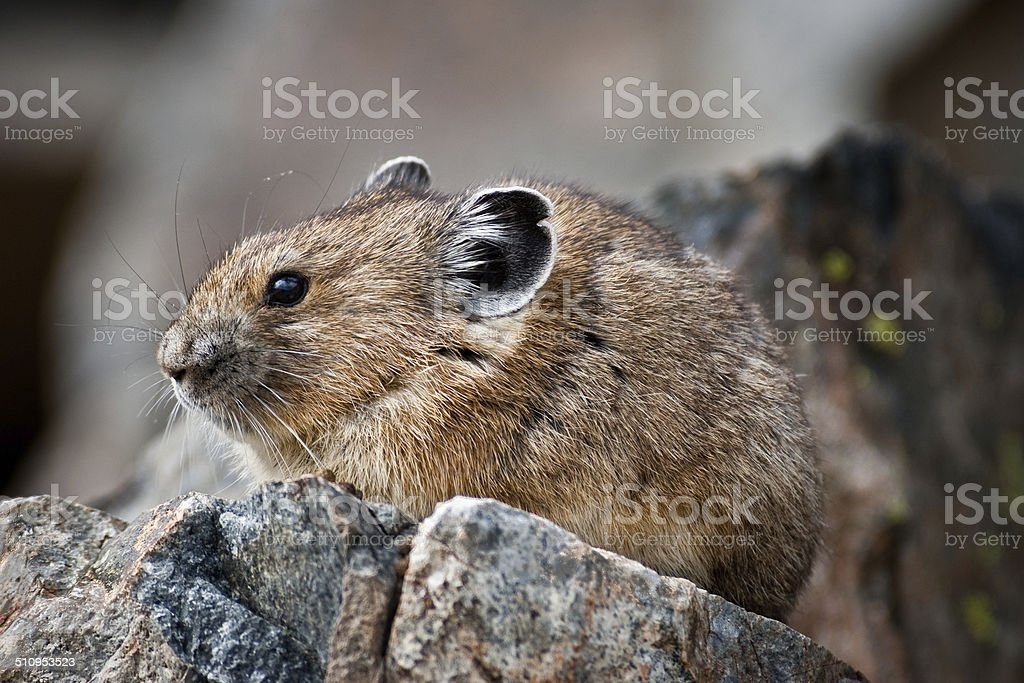 Pika on a Rock stock photo
