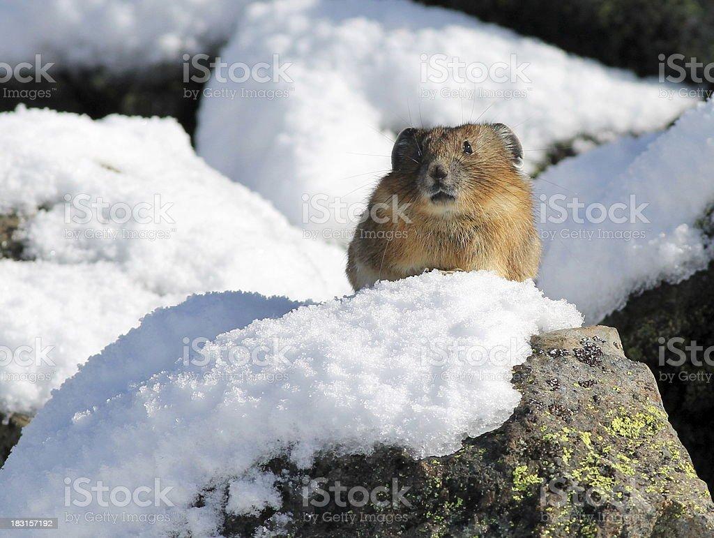 Pika on a Snowy Rock stock photo
