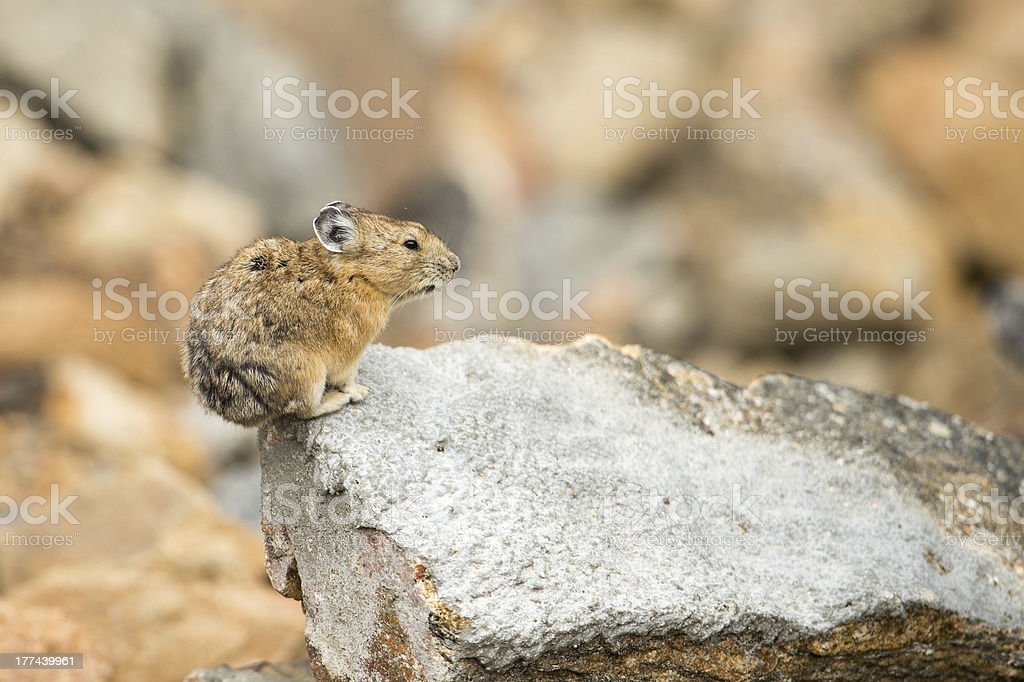 Pika on rock Rocky Mountain National Park, CO stock photo