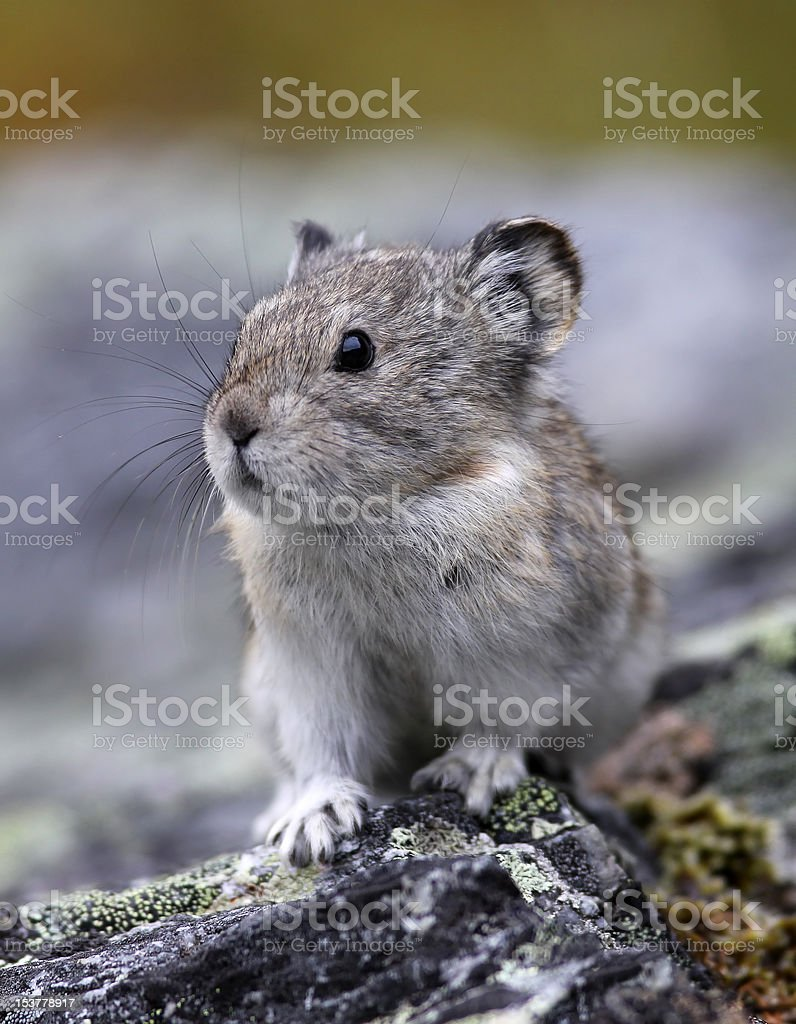 Pika on the Rocks stock photo