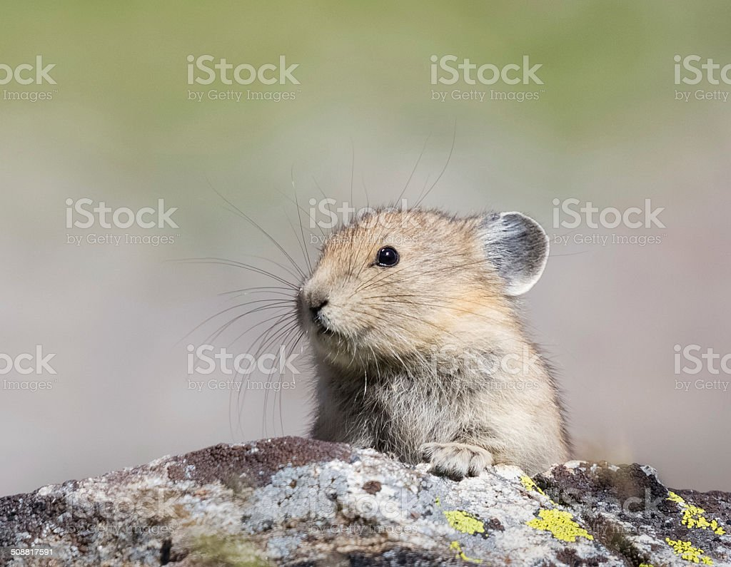 Pika stock photo