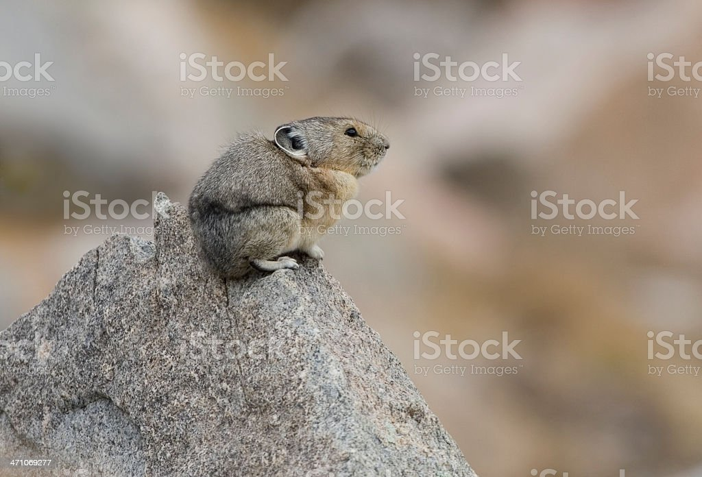 Pika sits on a rock at Mount Evans, Colorado stock photo