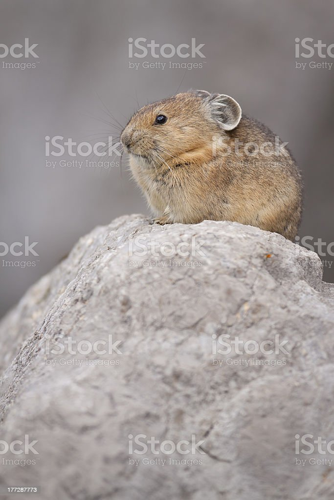 Pika Vertical stock photo