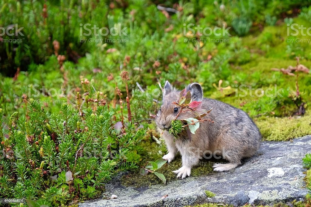 Pika with grass in its mouth. stock photo