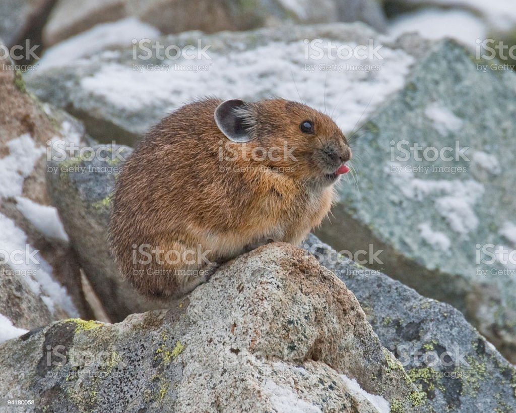 Pika With Tongue Sticking Out stock photo