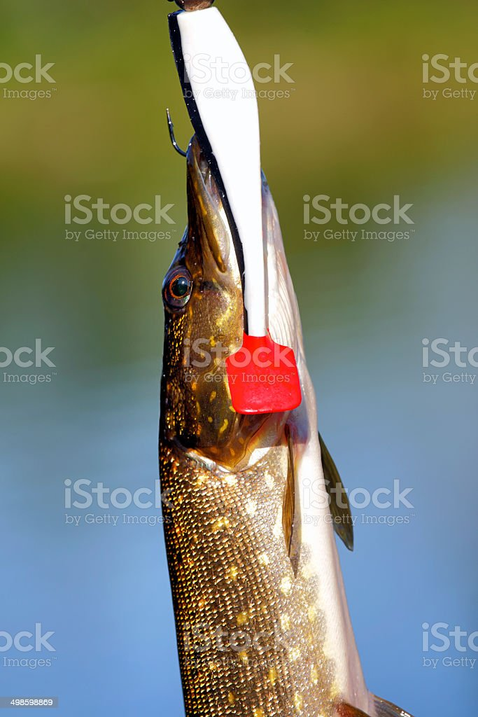 pike catch stock photo