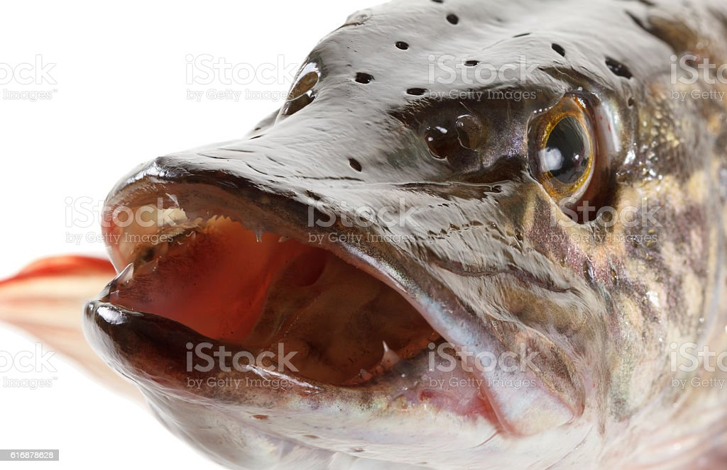 Pike fish head on a white background stock photo