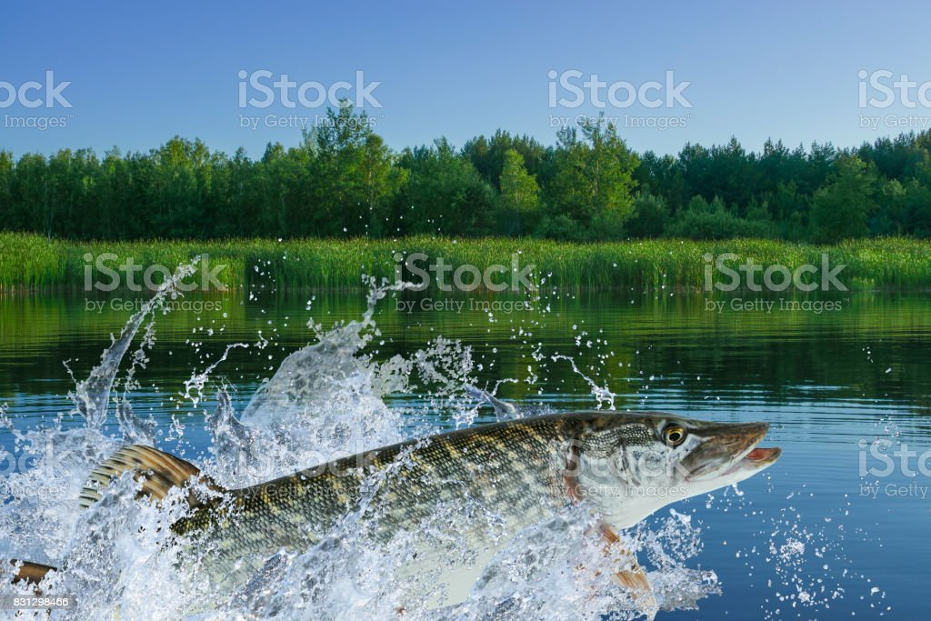 Pike fish jumping with splashing in water stock photo